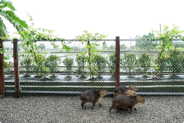 宜蘭景點  ▏新萌主報到!張美阿嬷農場,超人氣水豚君駕到!還能跟可愛梅花鹿互動拍照喔~ @捲捲頭 ♡ 品味生活
