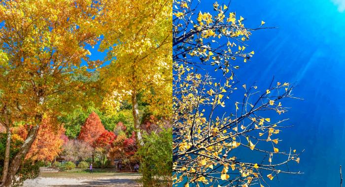 武陵農場⎪交通方式.門票資訊⎪山林換上秋日新裝。楓葉、銀杏、落羽松及油菜花田,讓你一次拍夠夠! @捲捲頭 Wonderful 品味。生活