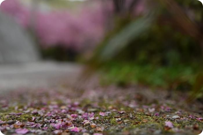 桃園景點》被爆開昭和櫻包圍,漫步浪漫櫻霧粉花海,免門票拉拉山賞櫻祕境+1 @捲捲頭 ♡ 品味生活