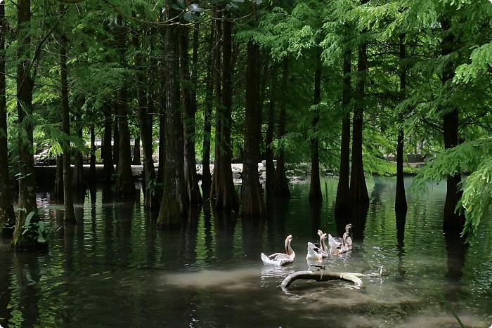 花蓮》鈺展落羽松森林。仙境般的水上落羽松林,浪漫唯美環湖小秘境! @捲捲頭 ♡ 品味生活