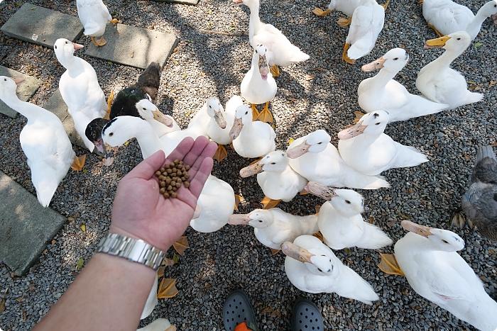 宜蘭》鴨寮故事館。快來被百隻鴨子可愛圍攻,看嘟嘴黃色小鴨好療癒,還能弄髒小手做鹹蛋! @捲捲頭 ♡ 品味生活